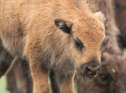 Baby European Bison Born at Fota!